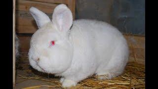 Новозеландец + Серый Великан. Самая выгодная порода кроликов.