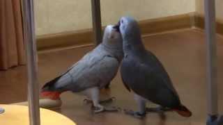видео купить попугая жако