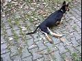 Neosporosis of dog