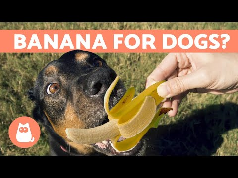 Pet Corner - Is BANANA Good for Dogs?