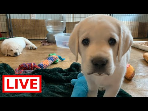 LIVE STREAM Puppy Cam! Adorable Lab Puppies in their Play Room...  So Cute!