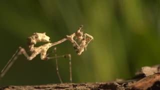 Close up of a cryptic mantis (Sibylla pretiosia) catching and eating a fruit fly, UK.