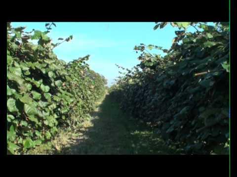 Coltivazione di kiwi youtube for Kiwi coltivazione