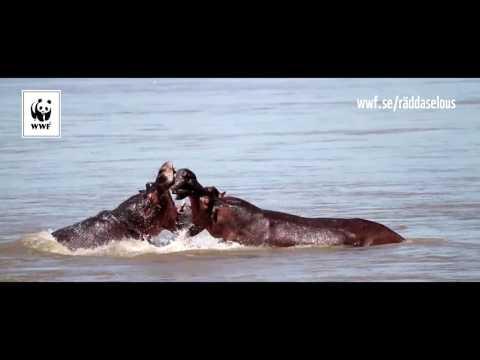 Nu hotas de livsviktiga floderna i Selous