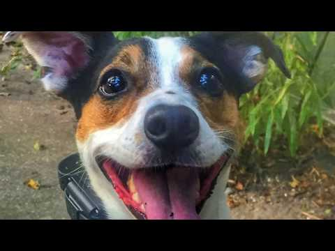 "4 year old Jack Russell Terrier ""Justin"" 