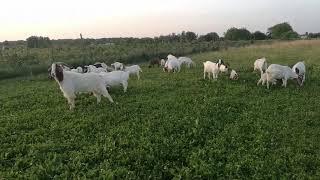 Burske koze Koprivnica