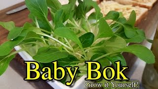 Oversow Your Greens Baby Bok Choy Big Tip