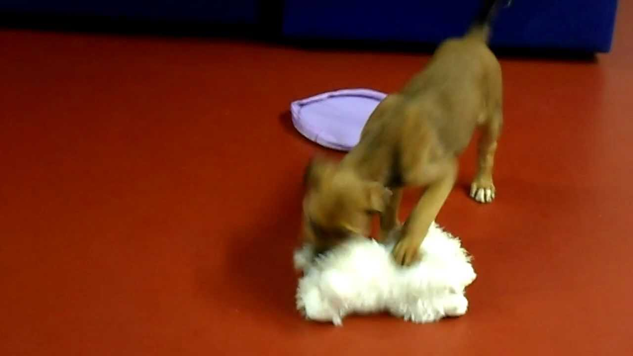 Labrador Boxer Cross Pups for rehoming