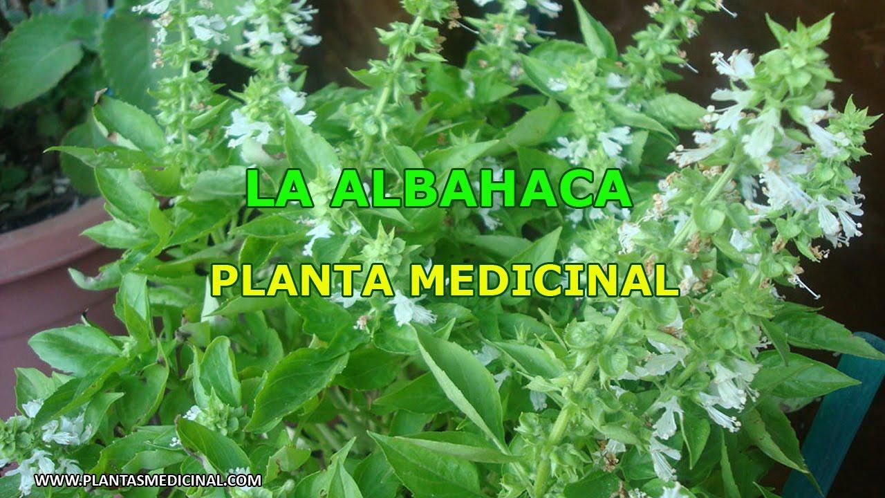 La Albahaca - Propiedades y Beneficios - YouTube