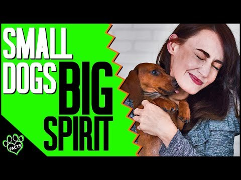 Small Dog Breeds With Big Personalities