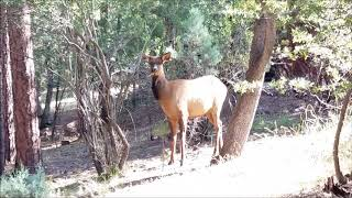 Elk walking through Pine Arizona Sept. 22, 2018
