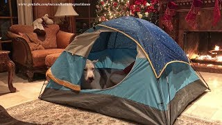 Funny Great Dane Gets Comfy in a Pup Tent