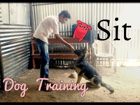How to teach a dog to sit (Hindi).|Dog training in Hindi.