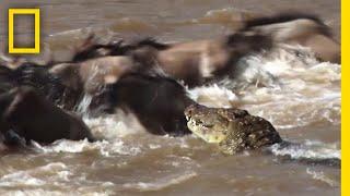 ヌーとシマウマのワニ川越え|ナショジオ