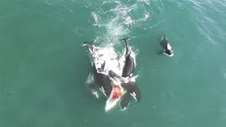 WATCH THIS! Orcas and White Shark IN South Australia!