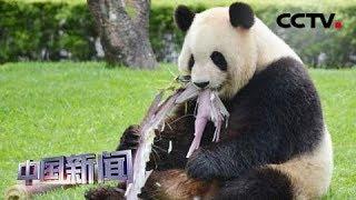 """[中国新闻] 日本动物园为大熊猫""""良浜""""庆祝母亲节   CCTV中文国际"""