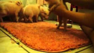 piglets being bathed