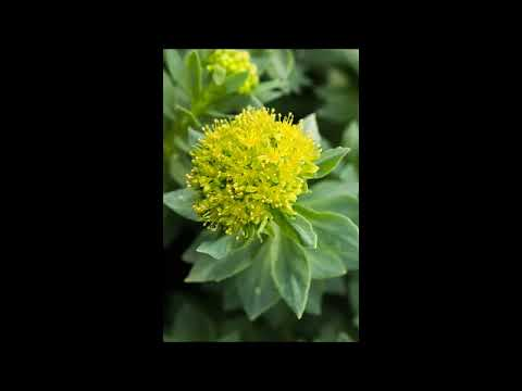 Griffonia Simplicifolia Bio | Propriétés - Santé par les plantes - Gratuit