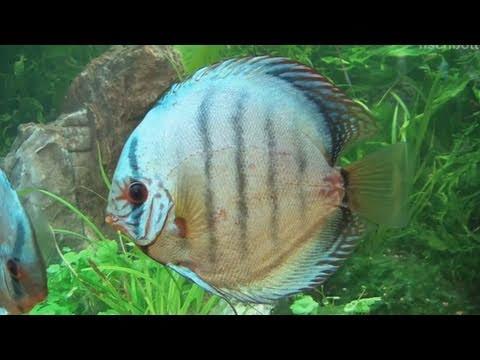 [HD] Sparkling Cobalt Blue Discus / Kobalt Blau Diskus @ Zierfische & Aquarium 2010 [26/53]