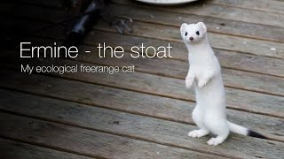 Ermine – the stoat