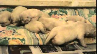Charlotte And Lincoln's 2 Week Old White Golden Retriever Puppies.