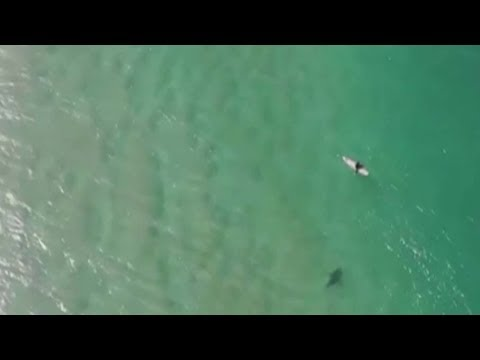 Австралийский беспилотник снял видеокадры, как акула преследует серфера