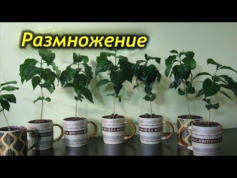 Способы размножения кофейного дерева. Как вырастить кофе дома на подоконнике.
