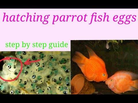 How To Breed Parrot Fish .in Hindi