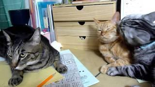 激しくお互いをなめ合う2匹の猫と、目のやり場に困る猫