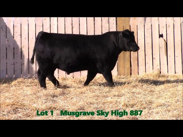Musgrave Angus Lot 1