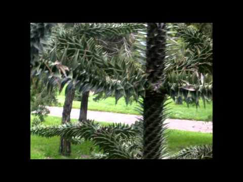 Araucaria araucana.wmv