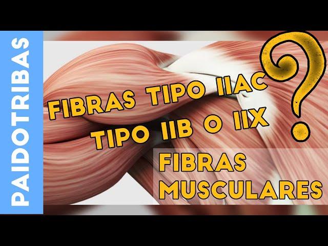 Fibras musculares - Paidotribas
