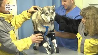 У Бродах собака без кінцівок прихистила чужих цуценят і кошеня (5 канал)