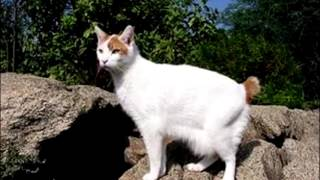 Порода кошек. Японский бобтейл.Кошка с дальнего востока с коротким хвостом.