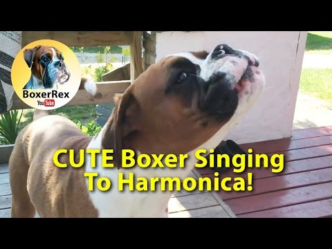 Funny Boxer dog Rex singing to the harmonica 🎵😂😂😂 (part 2)