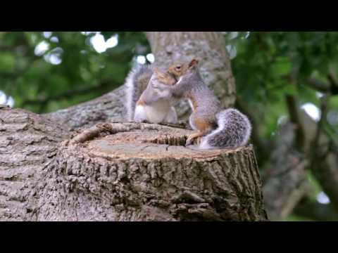 EXTRA FOOTAGE : Young Baby Gray Grey Squirrels (Sciurus carolinensis) playing outside the nest