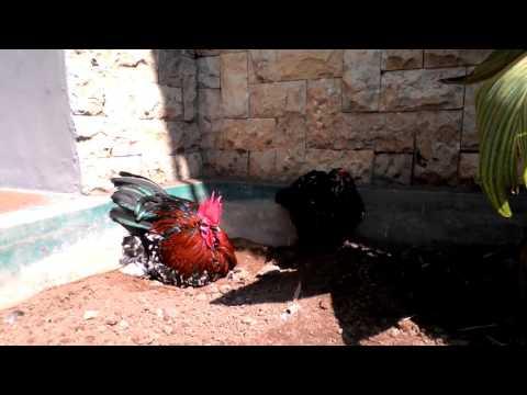 Ayam Hias Trend 2016 - Belgian D'uccle