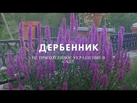 Дербенник — цветик в саду. Полезные свойства