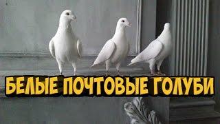БЕЛЫЕ ПОЧТОВЫЕ ГОЛУБИ / PIGEONS / TAUBE
