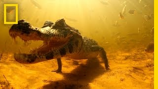 Swimming with Brazil's Caimans | National Geographic