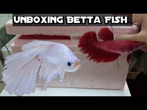Unboxing Ikan Cupang Halfmoon Dan Plakat - YouTube