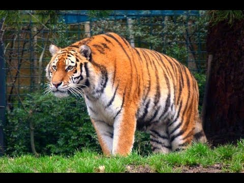 Tigers of the World by rogerdhall on DeviantArt  |Biggest White Tiger In The World