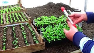 ПЕРЕЦ И БАКЛАЖАНЫ - ПИКИРУЕМ ВОВРЕМЯ! Как вырастить качественную рассаду?