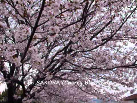 The KAZU TIME Show-SAKURA (Cherry Blossoms): 桜!