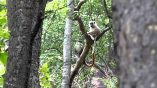 Video Issa Valley (Ugalla) red-tailed monkey and yellow baboon grooming (credit: E. McLester) download MP3, 3GP, MP4, WEBM, AVI, FLV November 2017