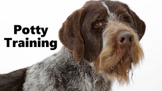 How To Potty Train A German Wirehaired Pointer Puppy - Training German Wirehaired Pointer Puppies