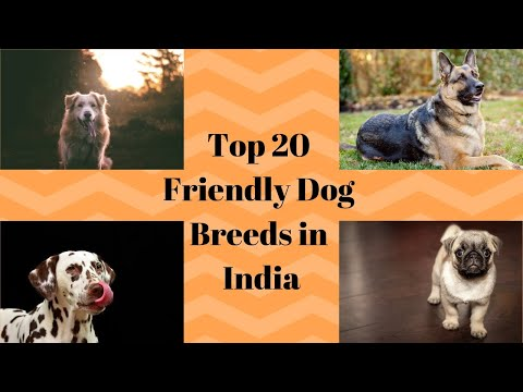 Most Friendly Dog Breeds