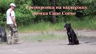 Тренировка собаки Кане Корсо на выдержку. #CaneCorso