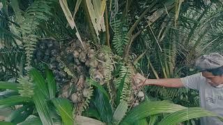 Panen buah Lontar di kebun sawit