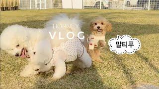 vlog | 강아지 우유껌 만들기 (No건조기) 말티푸…